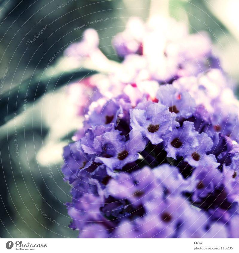 ..besonders der Lichteinfall.. Blume Sträucher violett Blüte klein zart Unschärfe Frühling Sommer schön Gefühle weich Makroaufnahme Natur Garten exotisch