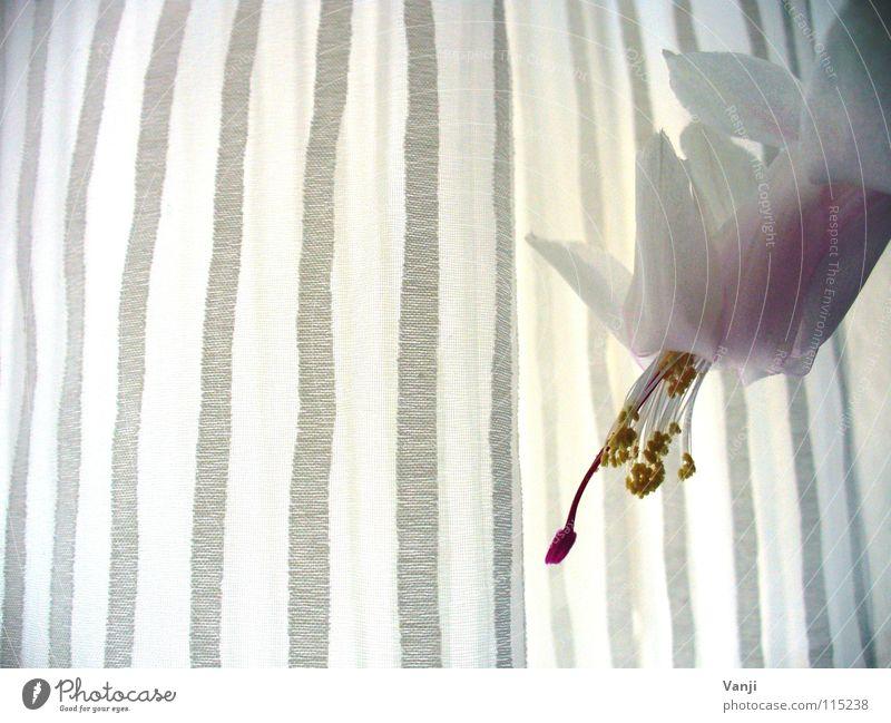 Blütezeit Pflanze rosa gelb Blume zart zerbrechlich Blütenblatt leicht Faser Stengel Pollen Kaktus Gardine Vorhang Streifen Fenster Licht