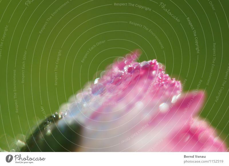 aufwachen schön Sonne Garten Pflanze Wasser Wassertropfen Blume frisch klein niedlich grün rosa weiß Tau Gänseblümchen feucht zart Farbfoto Außenaufnahme
