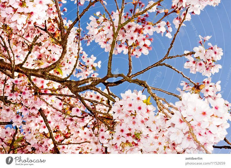 Edelkirsche Kirsche Kirschblüten Blüte Blühend Blume Frühling Baum Ast Zweig Himmel Blitzlichtaufnahme Textfreiraum Hintergrundbild Wolkenloser Himmel Sonne