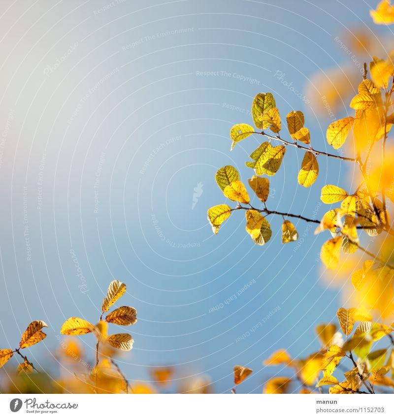 yellow Himmel Natur blau Sonne Baum Blatt gelb Wärme Herbst natürlich Wachstum gold Vergänglichkeit Schönes Wetter Wandel & Veränderung Herbstlaub
