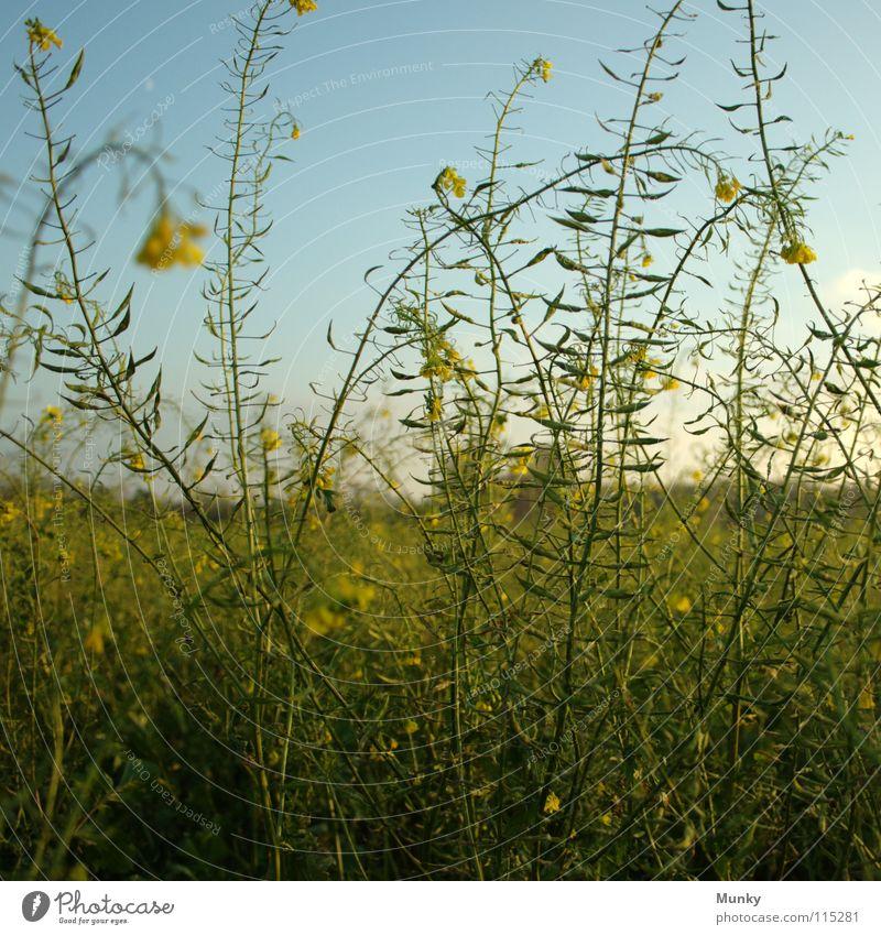 Hoch hinaus Himmel blau grün Pflanze Landschaft gelb Herbst hell Feld hoch Idylle Landwirtschaft Quadrat Ackerbau Raps Landkreis Osnabrück