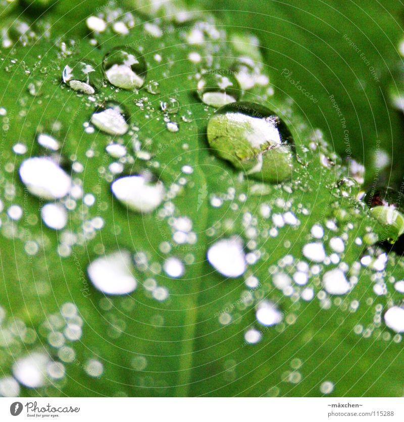 Tröppeln grün Blatt glänzend Reflexion & Spiegelung Licht Tiefenschärfe Unschärfe weiß feucht nass ruhig stagnierend trocknen schön Wassertropfen