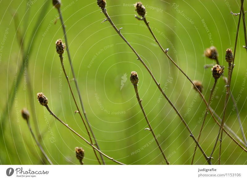 Wiese Natur Pflanze grün Umwelt Gras Garten Park wild Wachstum Vergänglichkeit trocken dehydrieren