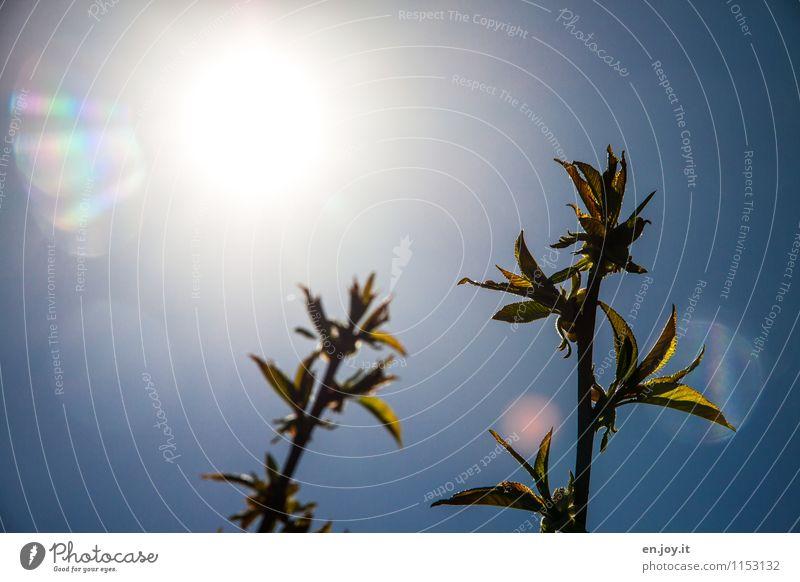 Solarenergie Leben harmonisch Wohlgefühl ruhig Garten Natur Pflanze Wolkenloser Himmel Sonne Sonnenlicht Frühling Sommer Blatt Kirschbaum Blattknospe