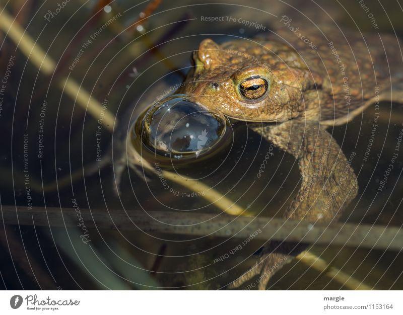 Eine Kröte im Teich mit einer Wasserblase Natur Wassertropfen Seeufer Flussufer Bach Biotop Tier Wildtier Frosch Tiergesicht Froschauge 1 Schwimmen & Baden