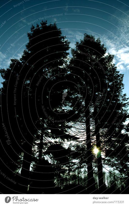 Nordwärts Tanne Baum Wolken dunkel Licht Reflexion & Spiegelung Wachstum schwarz grün weiß gelb Fichte Himmel Sonne duchscheinen Natur blau Silhouette
