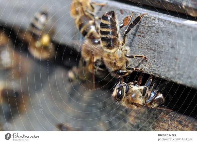 Nektaruebergabe Natur Tier schwarz Umwelt gelb Gesundheit grau außergewöhnlich braun Wildtier gold fantastisch Sauberkeit Wachsamkeit Umweltschutz Biene