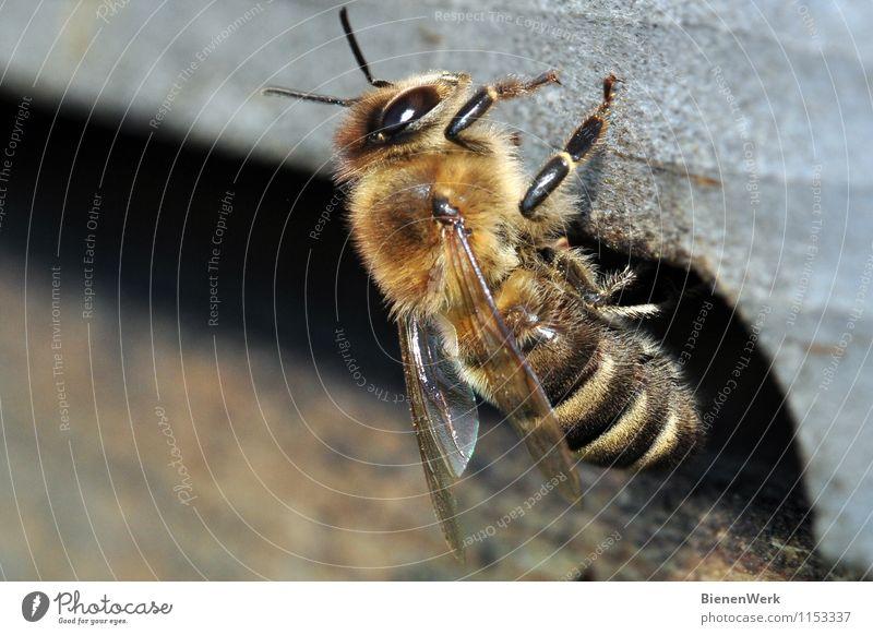 Biene - Apis mellifera Tier Nutztier 1 kuschlig stachelig braun gelb gold schwarz silber fleißig diszipliniert Ausdauer Reinlichkeit Sauberkeit Reinheit Angst
