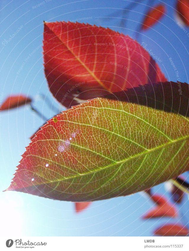 Herbstlaub 2 Himmel Baum grün blau Pflanze rot Blatt gelb Farbe Lampe Kraft fallen Vergänglichkeit Jahreszeiten Oktober