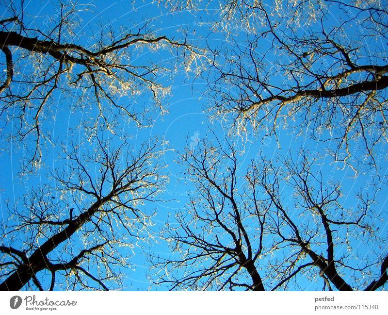 Wipfeltreffen Natur Himmel Baum blau Winter kalt frei hoch frisch Spaziergang Ast Gipfel genießen Baumkrone Geäst