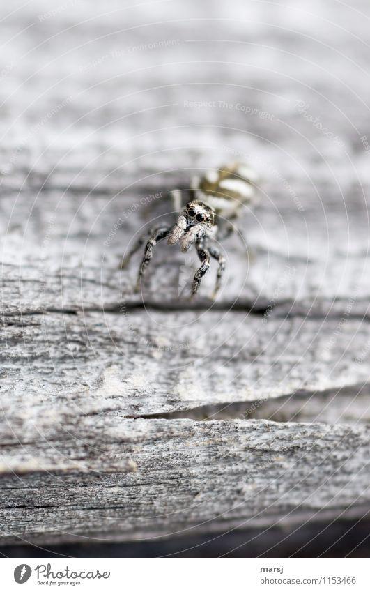 Gut getarnt Tier Wildtier Spinne Tiergesicht Auge Zebraspringspinne 1 beobachten Erholung sitzen authentisch dunkel einfach gruselig klein Neugier grau Gefühle
