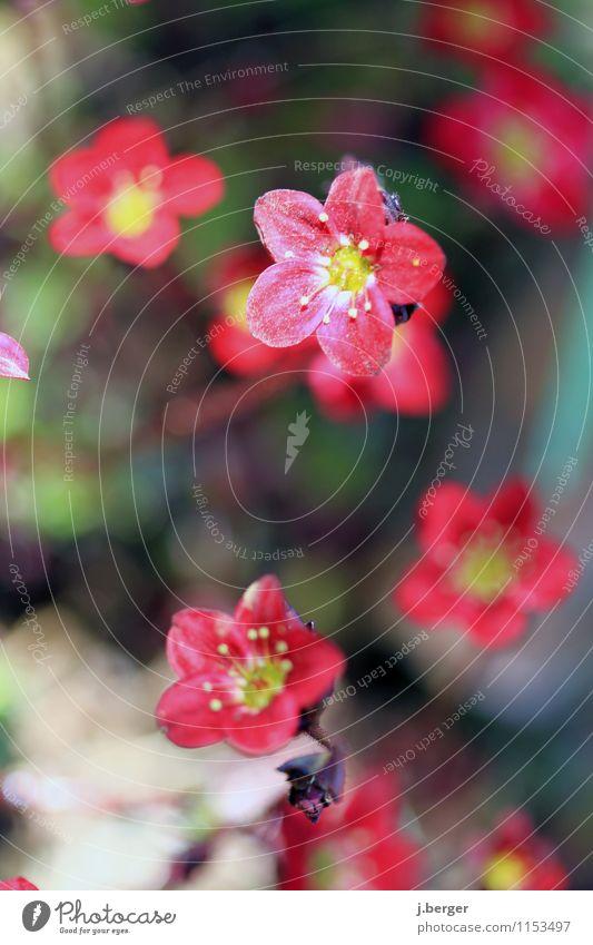 it´s spring time Natur Pflanze Frühling Blüte exotisch Blühend gelb rot Farbe Frühlingsblume Frühlingsfarbe Farbfoto Außenaufnahme Nahaufnahme Detailaufnahme