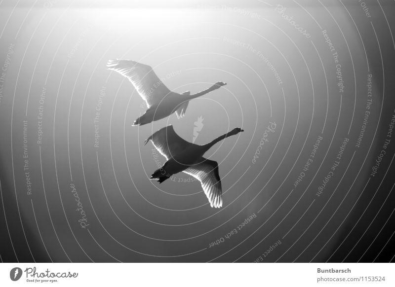 zu zweit fliegen Natur Tier Himmel Wolkenloser Himmel Schönes Wetter Wildtier Vogel Schwan Flügel 2 Tierpaar Bewegung Zusammenhalt Schwarzweißfoto Außenaufnahme