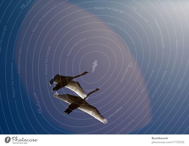 zusammen Natur Tier Himmel Wolkenloser Himmel Sonne Sonnenlicht Schönes Wetter Wildtier Vogel Schwan Flügel 2 Tierpaar Bewegung fliegen ästhetisch Zusammensein