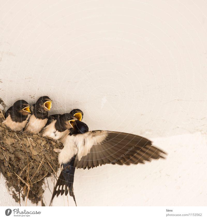 Mahlzeit Tier Essen Familie & Verwandtschaft Vogel Beginn Tiergruppe Konkurrenz Erwartung füttern Nest Nachkommen Schwalben Tierfamilie