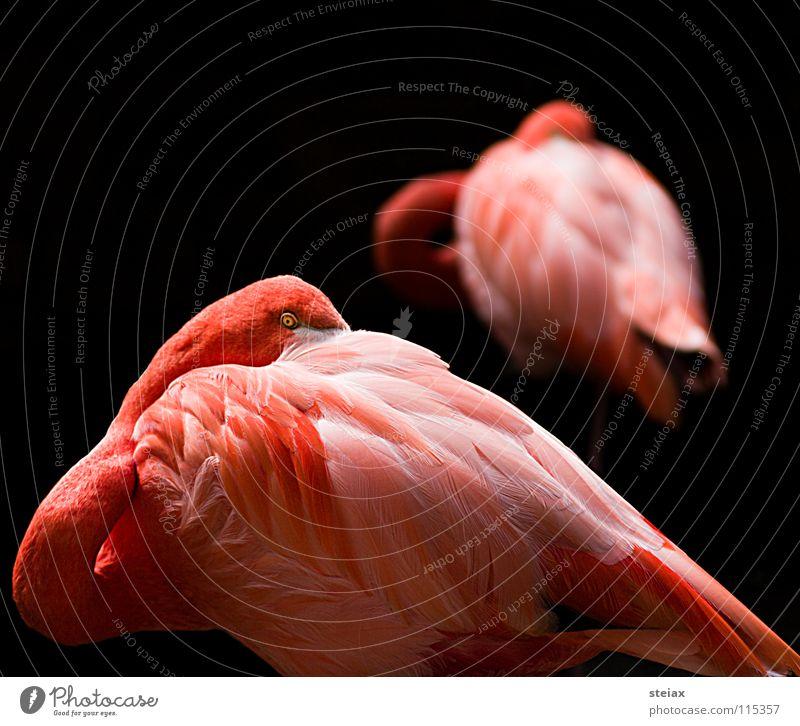 Don't look at me Auge Farbe Vogel rosa Zoo verstecken Flamingo