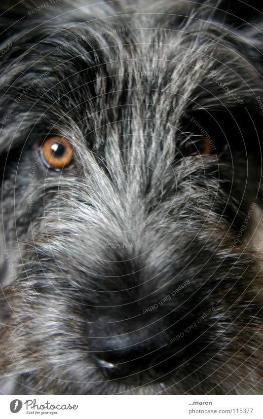 Frida! Hund Nasenloch Plüsch schwarz grau bernsteinfarben Bernstein Schnauze feucht nass Klarheit Hundeblick Fell Tier Säugetier Wuschel scheckig Blick orange