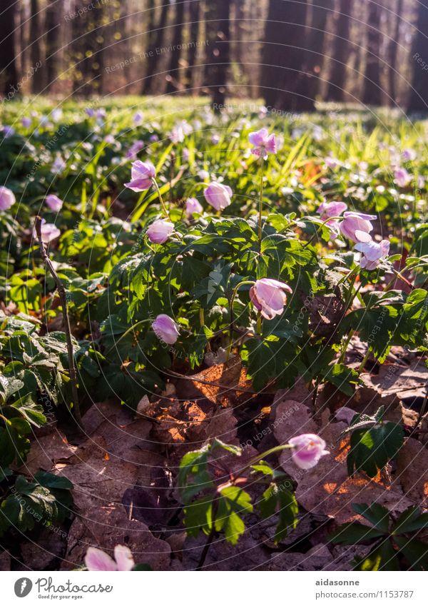 Frühling im Wald Natur Landschaft Pflanze Sonnenlicht Schönes Wetter Baum Blume Zufriedenheit Lebensfreude Frühlingsgefühle achtsam Gelassenheit ruhig