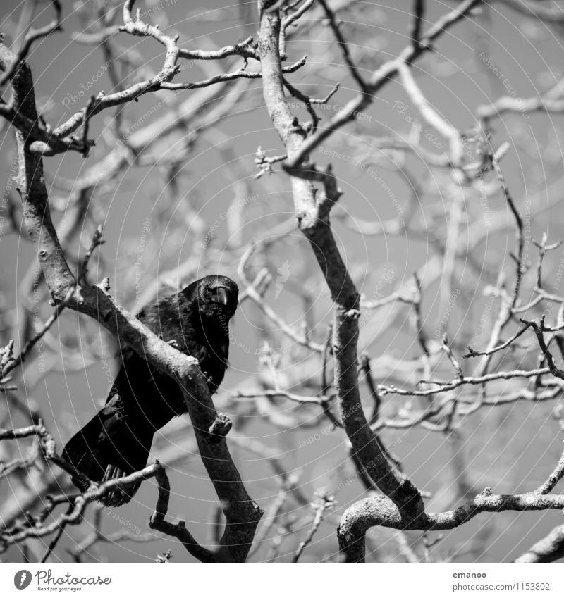 Ich hab auf dich gewartet Natur Pflanze Baum Landschaft Tier dunkel schwarz Gefühle natürlich Tod fliegen oben Vogel Angst Wildtier Feder