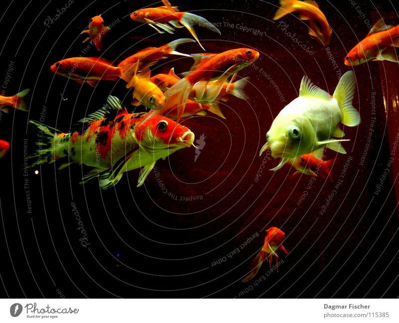 Alle meine Fischlein... Wasser rot Meer Tier gelb Leben See Freundschaft Zusammensein orange nass gold mehrere Fluss Schwimmen & Baden