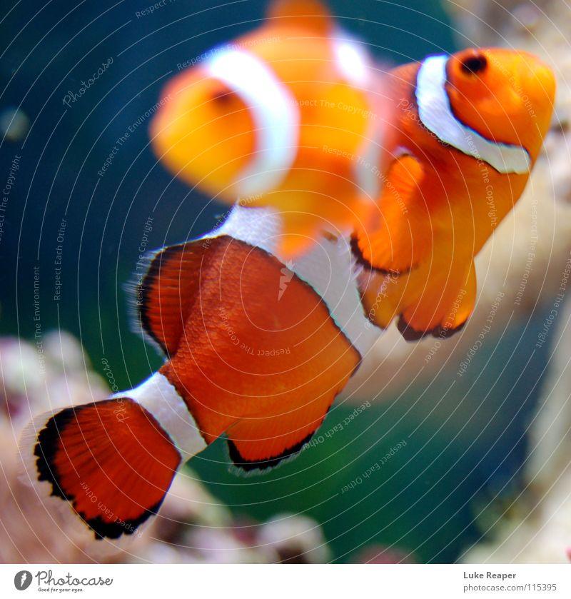 Clownfisch Zoo Haustier Fisch Aquarium 2 Tier Tierpaar weiß Meerwasser Findet Nemo orange Seewasser Farbfoto Unterwasseraufnahme Tag Bewegungsunschärfe