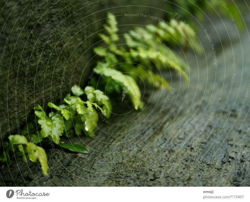 Farnwuchs Natur grün Pflanze Blatt Einsamkeit Herbst Holz Regen klein nass Ordnung Treppe Wachstum nah zart feucht