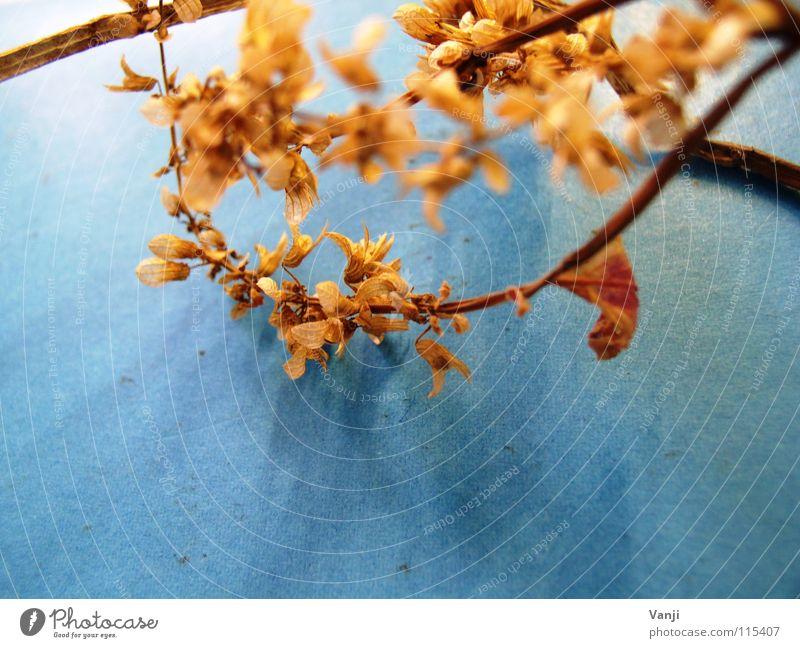 herbstlich Natur alt Blume blau Pflanze Blatt Herbst Blüte zart Stengel Verfall leicht sanft zerbrechlich getrocknet Blütenblatt