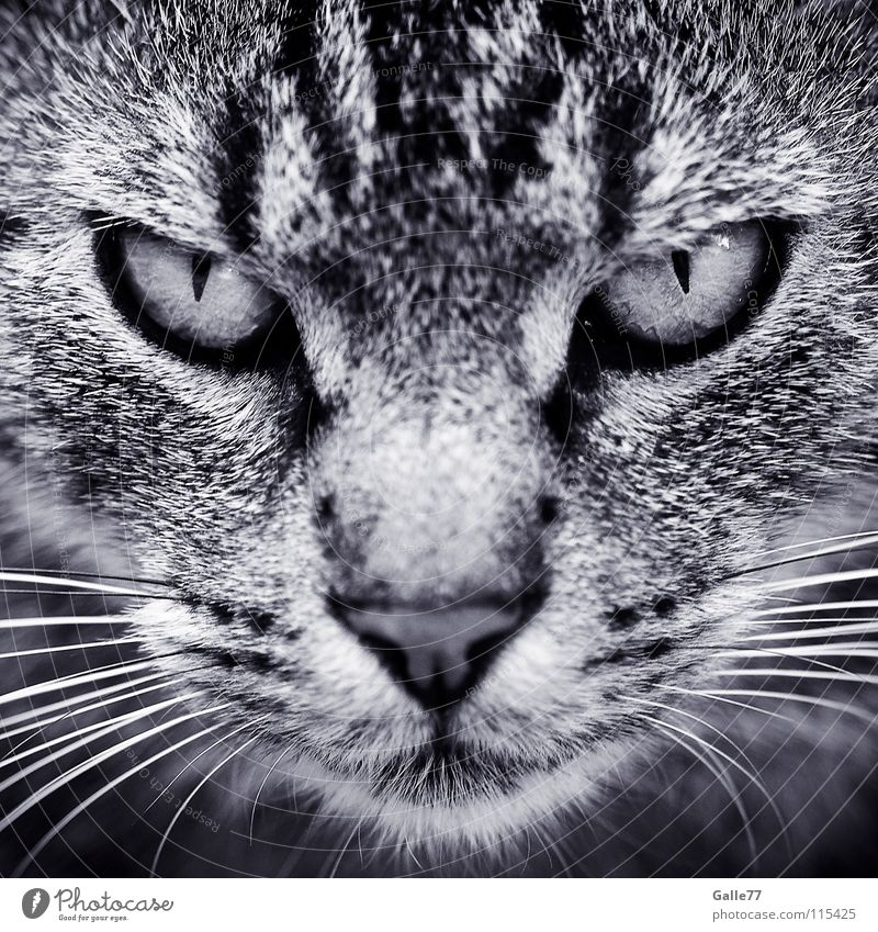 im Visier Katze Auge dunkel beobachten Konzentration Wut Momentaufnahme schäbig böse Symmetrie Hauskatze Aussehen flau Tier Schnurrhaar grauenvoll