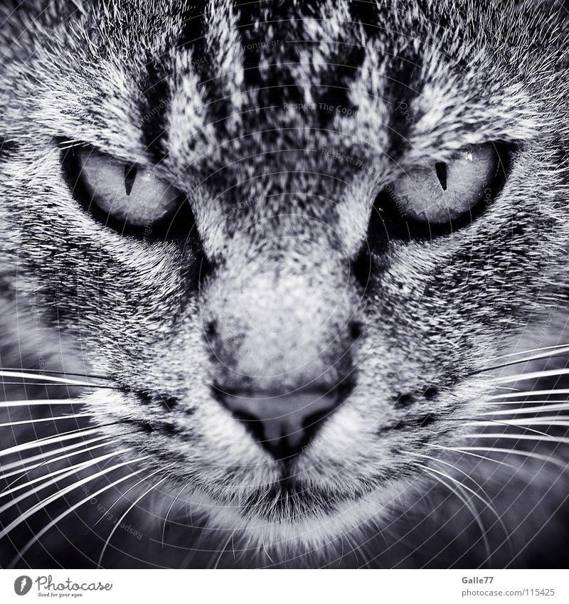 im Visier Katze Silhouette Schnurrhaar grimmig böse dunkel durchdringen Blick Aussehen flau Wut Konzentration Symmetrie Hauskatze beobachten Profil Katzenauge