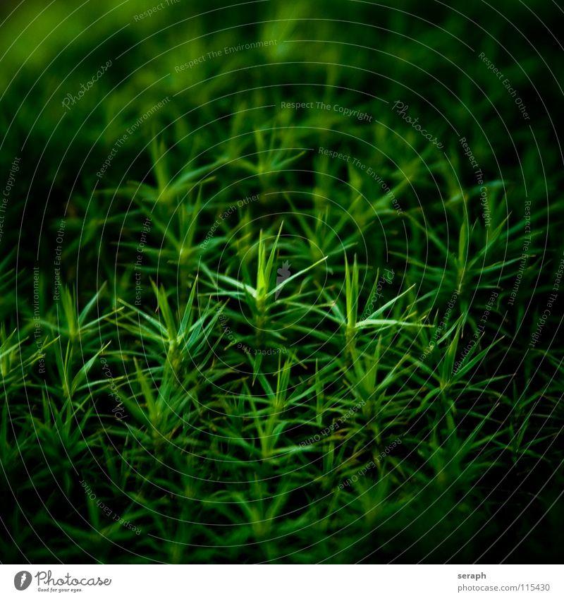 Moos Natur Pflanze grün Hintergrundbild klein Wachstum Stern (Symbol) weich Stengel Botanik Nest Flechten Waldboden Sporen Symbiose