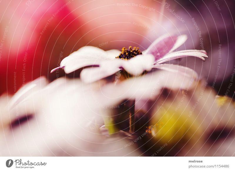 Mittelpunkt elegant Stil Frühling Blume Blatt Blüte Wildpflanze Margeritenart Blütenstempel Blütenblätter Garten Lichtspiel Blühend entdecken Erholung glänzend