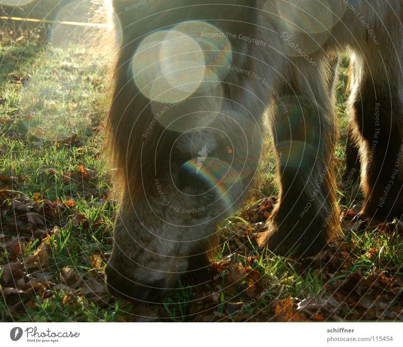 Fleckenferd Pferd Kaltblut Fressen Ernährung Mahlzeit Pflanzenfresser Sonnenlicht Gegenlicht Lichtpunkt Weide Tierheim Winter kalt Säugetier Pony Lebensmittel