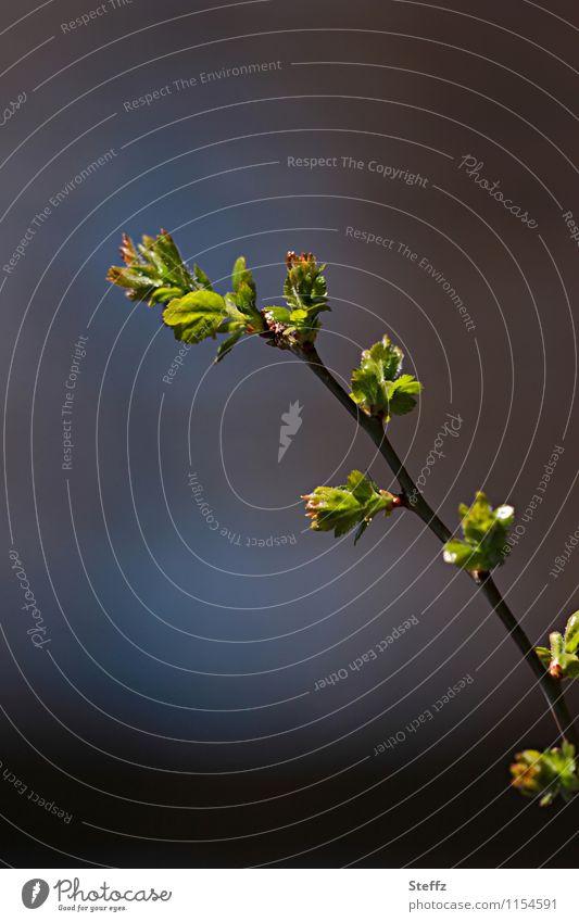 zeitgemäß Natur Pflanze grün Blatt Wald Frühling braun Textfreiraum Beginn Wandel & Veränderung neu Zweig Vorfreude Blattknospe Frühlingsgefühle Zweige u. Äste