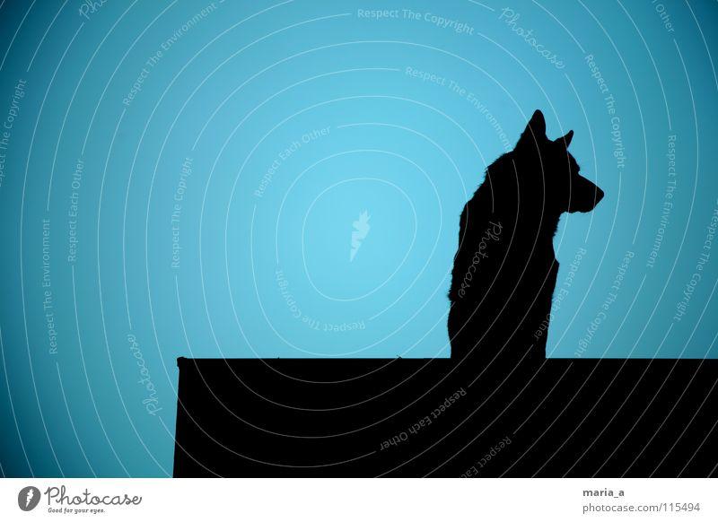 wachhund vom dach blau schwarz dunkel Hund Nase groß Kraft Sicherheit Ohr Schutz beobachten stark Wachsamkeit Publikum Kontrolle laut