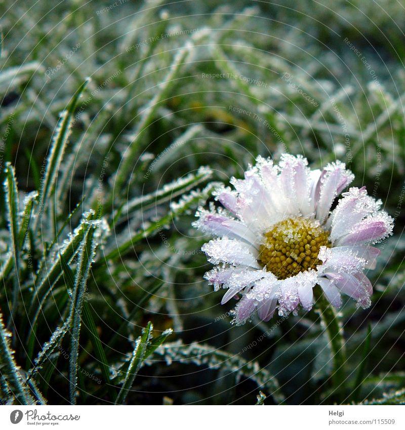 Blüte eines Gänseblümchens mit Eiskristallen an den Blütenblättern auf einer Wiese Winter kalt frieren Raureif Morgen gefroren Blume Blütenblatt Stengel Gras