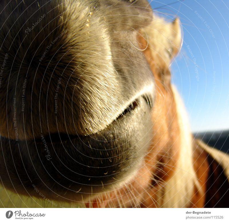 Jolly Jumper II Pferd Sauerland Mähne Pferdekopf Nüstern rot Neugier begegnen auslaufen Geruch Freizeit & Hobby Lebensfreude Tier Haustier blond Bart Lippen