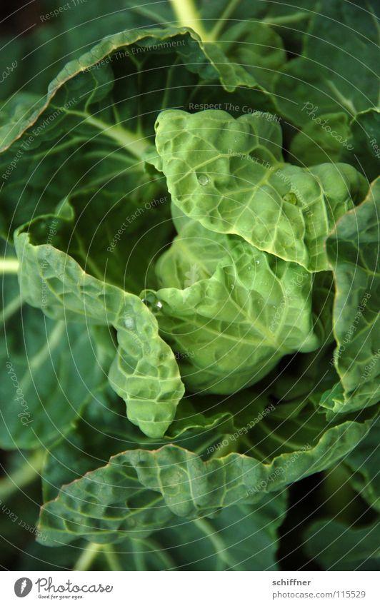 Zum Fest gibts Kohl! grün Pflanze Ernährung Gemüse Kohlgewächse Grünkohl Weißkohl Verdauungsystem Wirsing Zierkohl