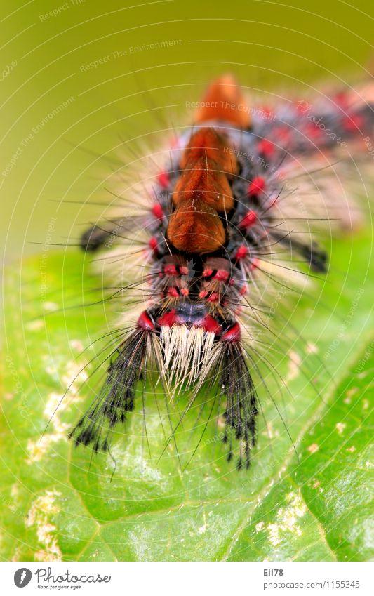 Schlehen-Bürstenspinner Natur Tier Zufriedenheit Behaarung Fröhlichkeit Lebensfreude Schmetterling Frühlingsgefühle Borsten Raupe