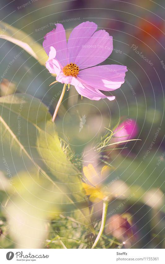 Sommer im Garten Natur Pflanze grün schön Blume Blüte Stimmung rosa Blühend violett Blütenblatt sommerlich Lichteinfall Sommerblumen
