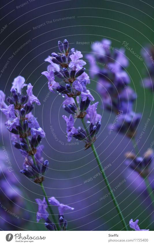 blühender Lavendel als Stimmungsaufheller Lavendelblüten Sommerblüte Romantik Farbstimmung Duftpflanze Juni Juli Blütezeit Lavendelduft Lavendelblau Heilpflanze