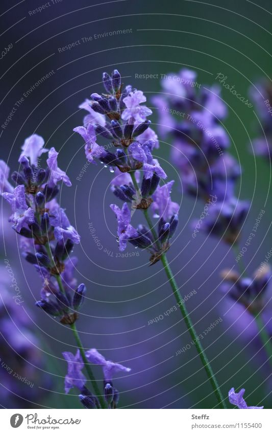 Stimmungsaufheller Umwelt Natur Sommer Pflanze Blume Blüte Nutzpflanze Lavendel Heilpflanzen Gartenpflanzen Stauden Blühend natürlich schön blau violett