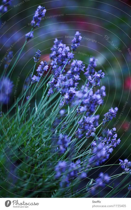 blau blüht der Lavendel Natur Pflanze grün Sommer Blume Garten Blühend Neigung Stauden Heilpflanzen Juni dunkelgrün Gartenpflanzen Vor dunklem Hintergrund