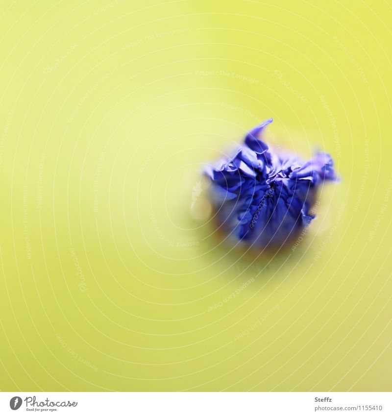 Kornblume blühende Kornblume Juli Farbtupfer Wiesenblume Blütenknospe kurz davor gleich jetzt Blütezeit bereit sein Start starten startklar blühende Wiesenblume