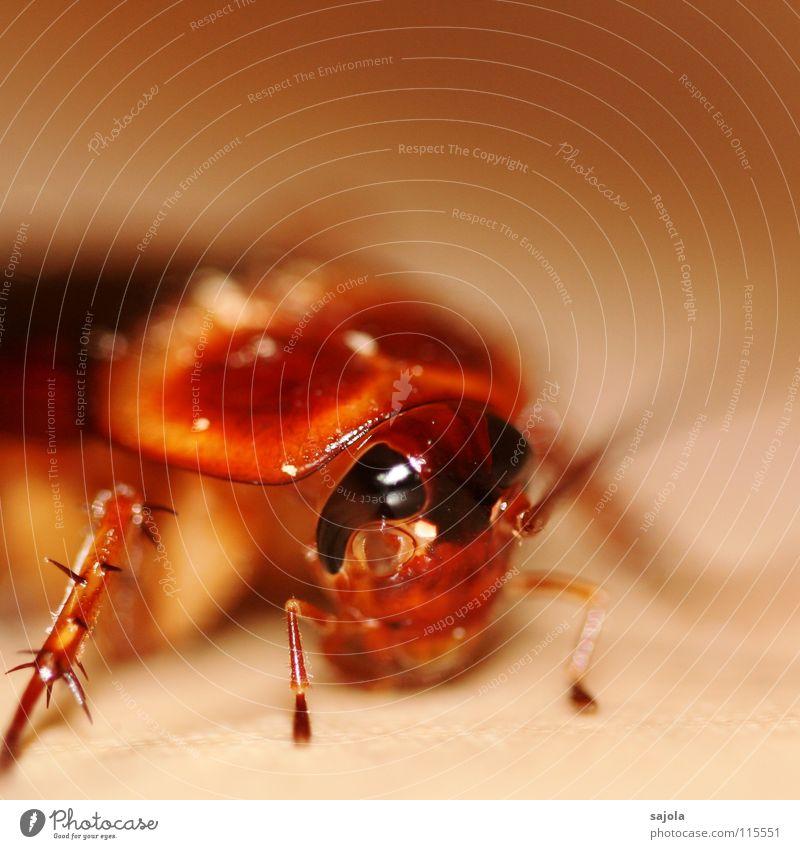 ungeliebte kakerlake Tier Tiergesicht Gemeine Küchenschabe 1 Ekel nah braun Insekt Auge Beine Fühler Panzer Schädlinge Facettenauge Panik Farbfoto Innenaufnahme