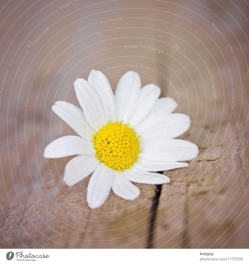 Gänseblümchen Natur weiß Sommer Blume Freude Liebe Blüte Frühling frisch Geburtstag Fröhlichkeit Blühend Geschenk Jahreszeiten Blumenstrauß