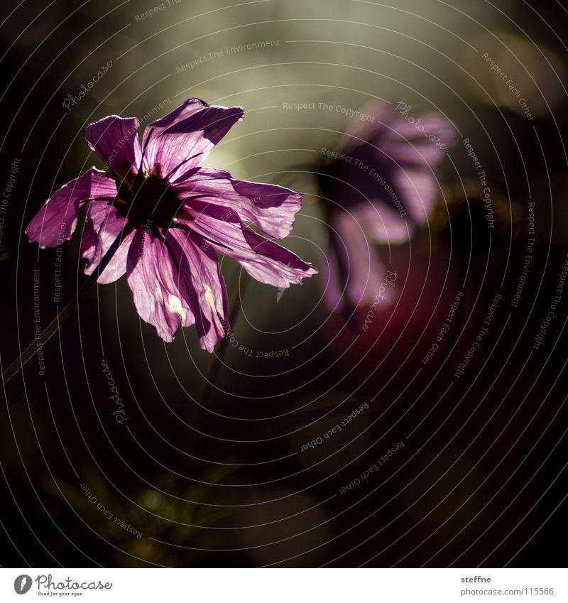 GEBURTSTAGSBLUME Blume Blüte Gegenlicht Gratulation Computer-Nutzer online trüb hängen lassen Herbst violett schwarz grün Freude Wiese Margerite Natur Zählfred