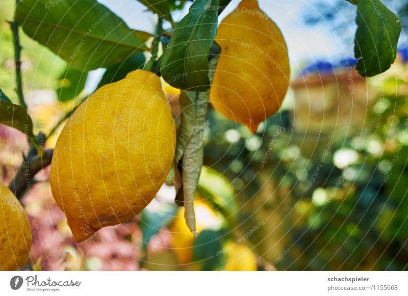 Zitrone frisch Lebensmittel Frucht Baum Zitronenbaum Gesundheit saftig braun gelb grün genießen Vitamin Vitamin C Farbfoto Außenaufnahme Menschenleer Tag