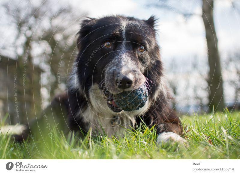 Schnauze voll Tier Gras Wiese Haustier Hund apportieren Collie Border Collie Hirtenhund 1 Ball niedlich blau Geborgenheit Tierliebe Gelassenheit Treue sanft
