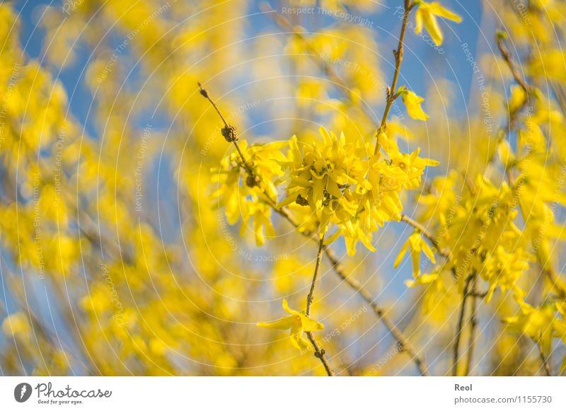 Gelb Natur Pflanze Himmel Wolkenloser Himmel Frühling Schönes Wetter Sträucher Zweige u. Äste Blütenblatt Blühend Wachstum blau gelb Frühlingsgefühle Unschärfe